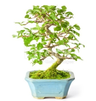 S zerkova bonsai kısa süreliğine  Muğla internetten çiçek siparişi