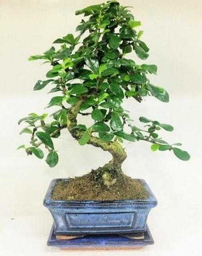 S Bonsai japon ağacı bitkisi  Muğla çiçek gönderme sitemiz güvenlidir