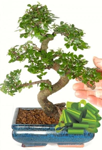 Yaklaşık 25 cm boyutlarında S bonsai  Muğla çiçek servisi , çiçekçi adresleri