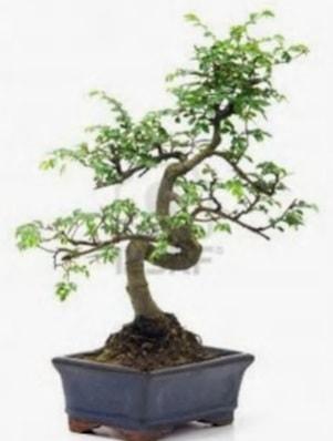 S gövde bonsai minyatür ağaç japon ağacı  Muğla uluslararası çiçek gönderme
