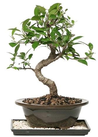 Altın kalite Ficus S bonsai  Muğla cicekciler , cicek siparisi  Süper Kalite