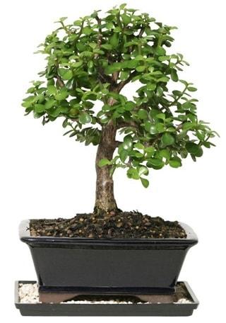 15 cm civarı Zerkova bonsai bitkisi  Muğla çiçek servisi , çiçekçi adresleri