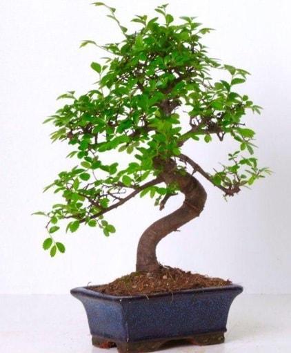 S gövdeli bonsai minyatür ağaç japon ağacı  Muğla çiçek siparişi vermek