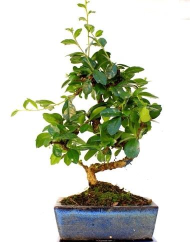 S gövdeli carmina bonsai ağacı  Muğla online çiçek gönderme sipariş  Minyatür ağaç