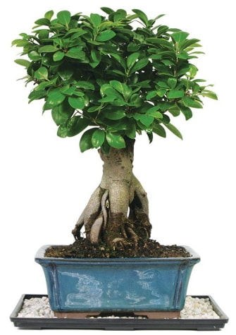 Bonsai Ginsing Grafted Ficus Bonsai  Muğla online çiçek gönderme sipariş
