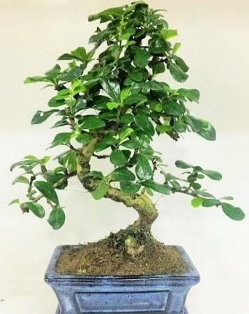 Zelkova S gövdeli Minyatür ağaç Bonzai  Muğla cicek , cicekci