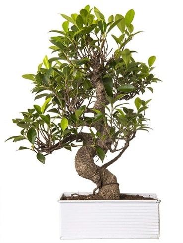 Exotic Green S Gövde 6 Year Ficus Bonsai  Muğla çiçek siparişi vermek