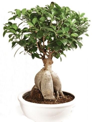 Ginseng bonsai japon ağacı ficus ginseng  Muğla internetten çiçek siparişi