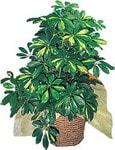 Muğla güvenli kaliteli hızlı çiçek  Schefflera gold